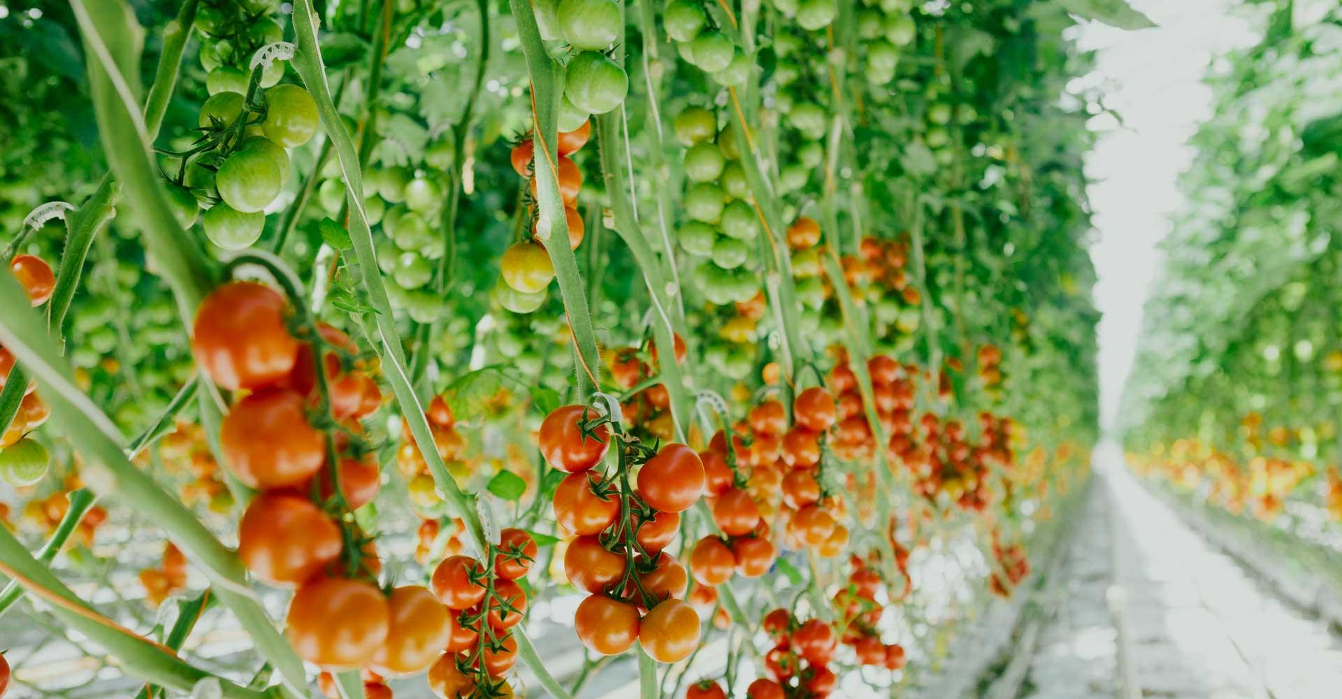 Fresh + Friends - Frischekonzept - Anbau - Tomaten