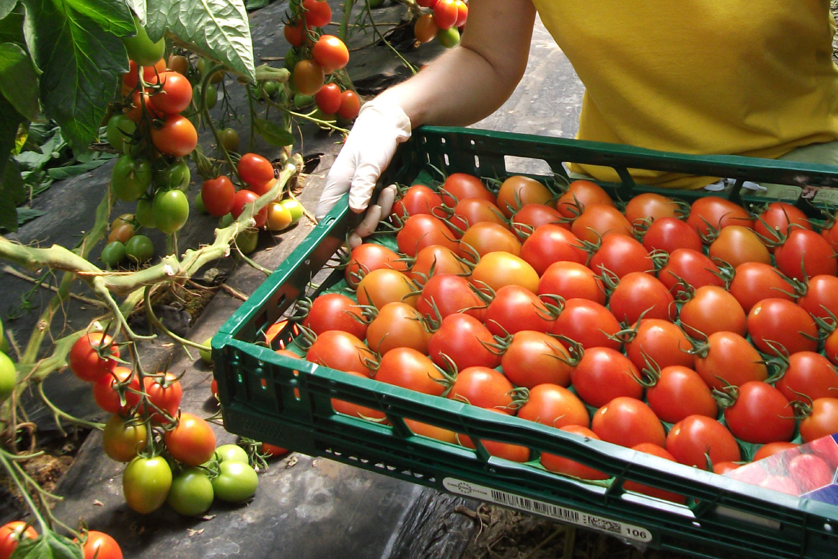 Fresh + Friends - Frischekonzept - Logistik - Tomaten